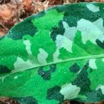 Neotropical Plant Aglaonema Pictam Tricolor Andaman
