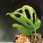 奇妙な植物モンステラ 新しい葉が続々